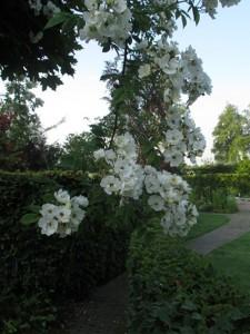 witte-bloem